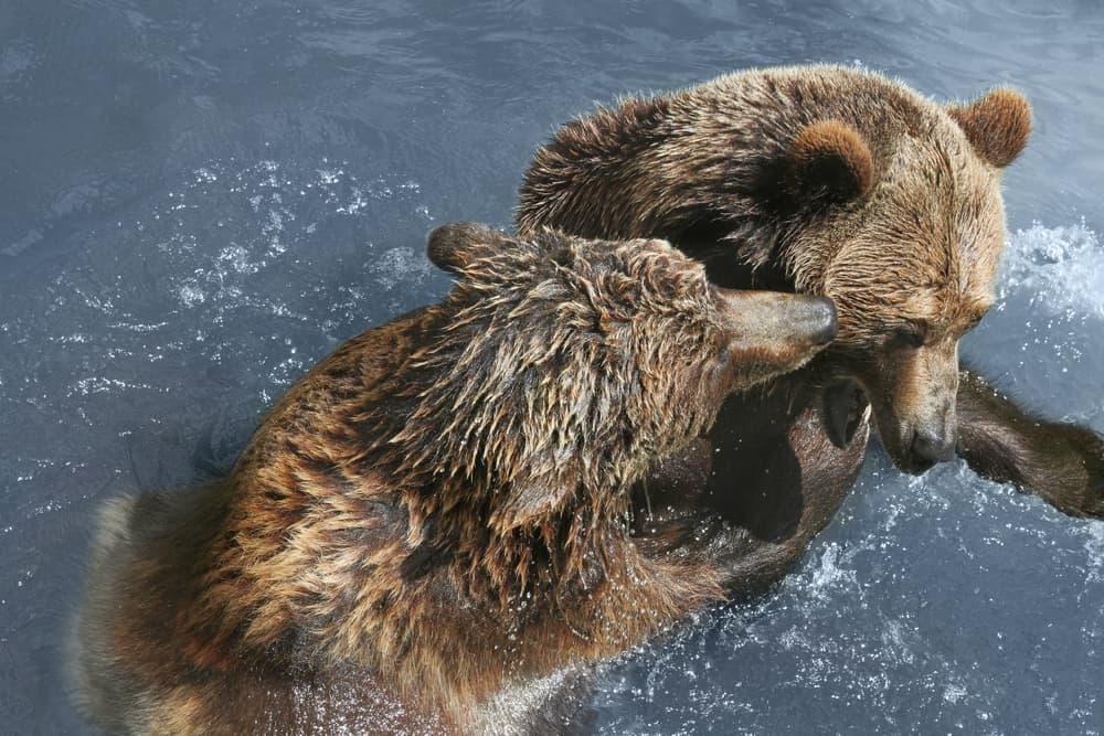 To brunbjørne der leger i vandet i Barcelona Zoo
