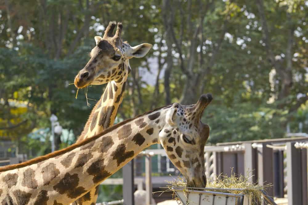 To giraffer som spiser hø i Barcelona Zoo. Girafferne ses kun fra halsen og op.