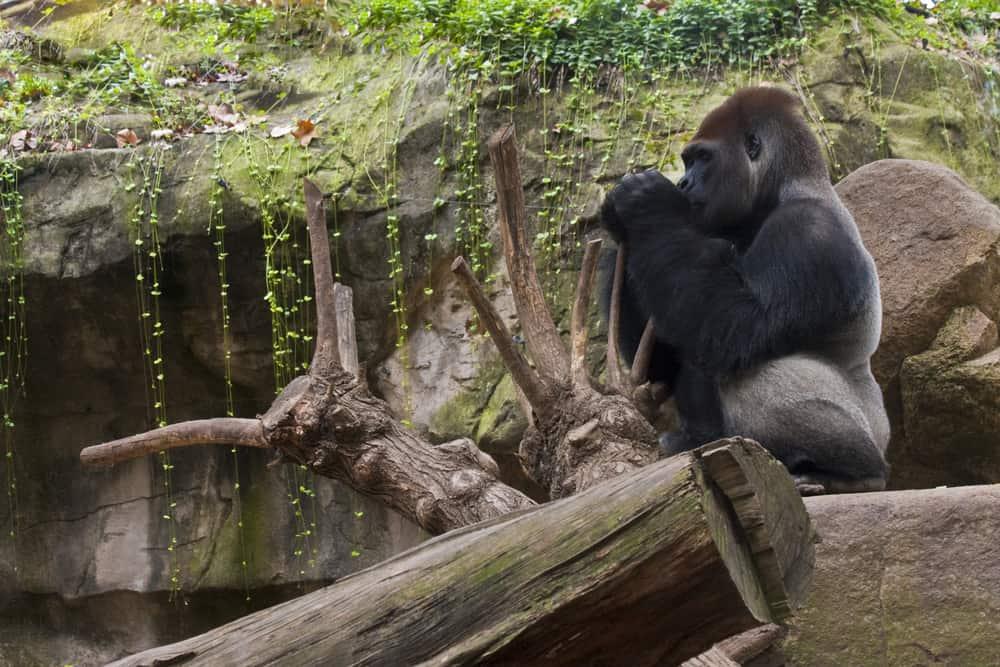En gorilla som sidder på en stor sten i Barcelona Zoo.