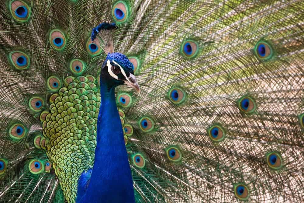 En påfugl i Barcelona Zoo som har slået sin smukke fjerdragt ud.