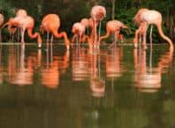 En gruppe flamingoer som søger føde i vandoverfladen (Barcelona Zoo)