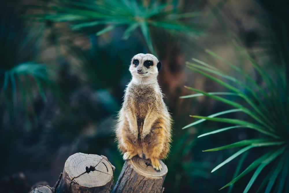 Surikat som sidder på en træstamme i Barcelona Zoo