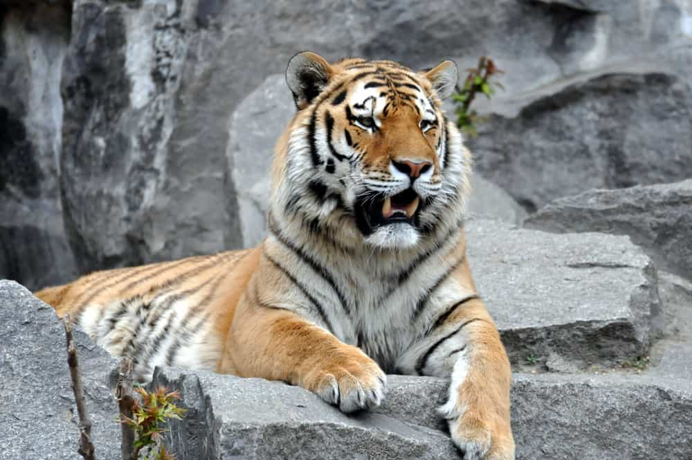 Tiger i Berlin Zoo